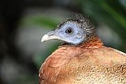 Argus pheasant head