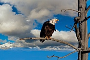 Eagle Perched over Madison River