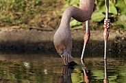 Chilean Flamingo Eating In Water
