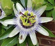 Passion Flower With Hoverfly