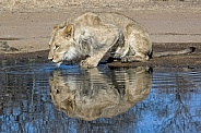African White Lion (Male)