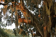 Spanish Moss in the light of the Sunset near the lake