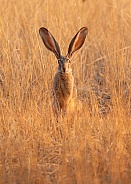 Lepus Californicus, Black Tailed Jackrabbit