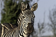 Grants Zebra Close Up