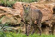Cheetah Full Body