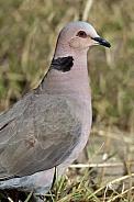 Cape Turtle Dove - Okavango Delta - Botswana