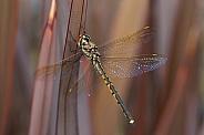 Australian emerald dragonfly