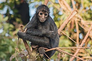 Young Columbian Spider Monkey In Tree
