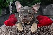 French Bulldog Puppy Close Up Head Shot