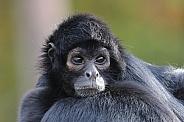 Colombian spider monkey (Ateles fusciceps rufiventris)