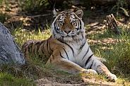Siberian Tigress (Panthera Tigris Altaica)
