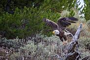 Bald Eagle Madison River Yellowstone