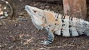 Wild Iguana