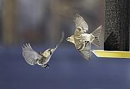 Common Redpolls arguing at the Bird Feeder