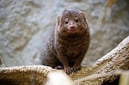 Mongoose sitting on three