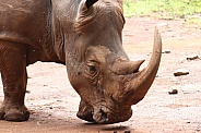 White Rhino head shot