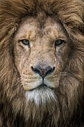 African lion close up