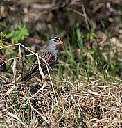 Male White-crowned Sparrow in Alaska