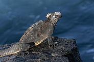 Galapagos Marine Iguana - Fernandina - Galapagps Islands