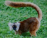 Female Black Lemur