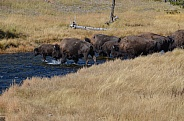 Bison herd crossing the Nez Perce Creek