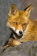 Red fox in Nature