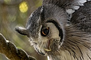 White Faced Scops Owl Close Up Looking Down