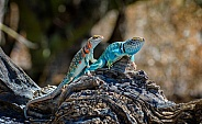 Lizard Couple