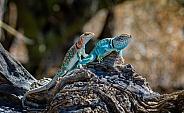 Lizard Couple