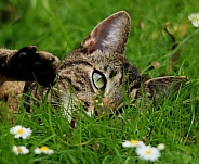 Domestic cat laying in Grass