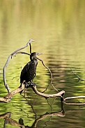 Little black cormorant (wild).
