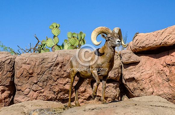 Bighorn Sheep - Ram