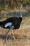 Ostrich - Struthio camelus - Namibia