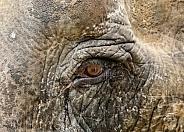 Asian elephant eye