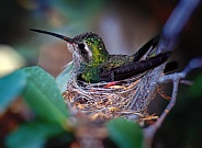 Nesting Hummingbird Female