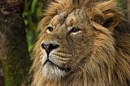Asiatic Lion Head Shot