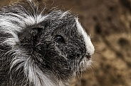 Guinea Pig Close Up Side Profile