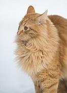 Light Tan Cat