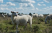 Sheep in Netherlands,field