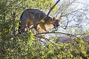 Grey Fox in a Tree