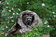 Baby Raccoon peeking from a Burrell