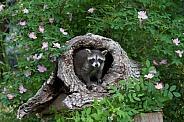Baby Raccoon peeking from a Burrell