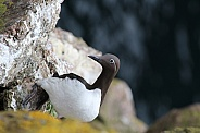Bridled Guillemot/Common Murre