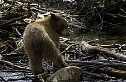 Young black bear fishing along a creek
