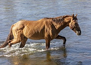 AZ wild horse walking through the river