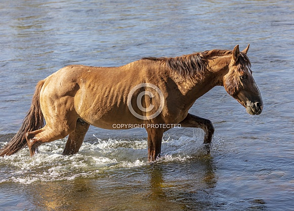 AZ wild horse walking through the river