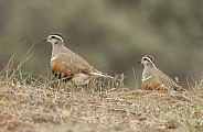 The Eurasian dotterel (Charadrius morinellus)