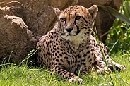 Cheetah Lying Down Resting