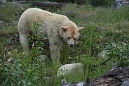 Kerrmode (Spirit) Bear