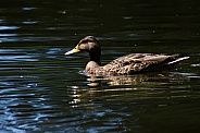 Female Mallard on Pond